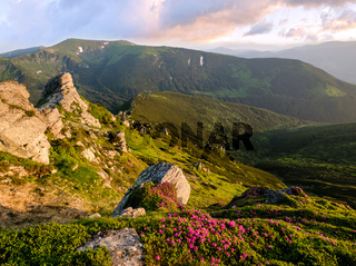 Pink rose rhododendron flowers on morning summer mountain slope.