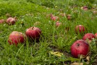 Red ripe apples on the grass