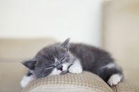 Cute little British shorthair kitten sleeping