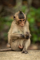 Baby long-tailed macaque grooming foot on wall