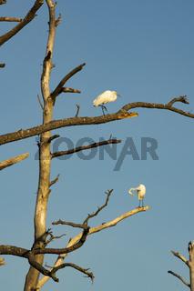 Great White Heron Birds Groom Themselves in Barren Tree