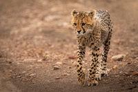 Cheetah cub walking down track lifts paw