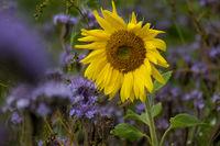 Sonnenblume im Bienenfreundfeld