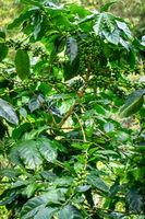 Coffee plantation near Chiang Mai, Thailand