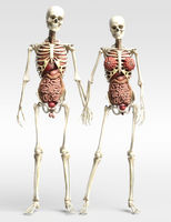 Digital 3D Illustration of the human Anatomy