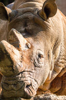rhinoceros portrait at sunset