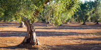 Old olive trees in South Italy