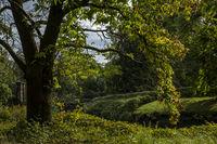 Edelkastanie (Castanea sativa)