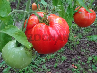Red tomatoes. Tomato on a twig. Ecological natural agriculture without preservatives. Tomato growth plant.