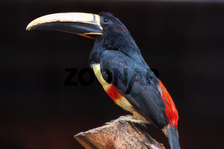 Exotic Toucan bird. Black necked Aracari, Pteroglossus Aracari perched on tree branch.
