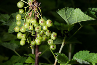 white currants isolated on dark background
