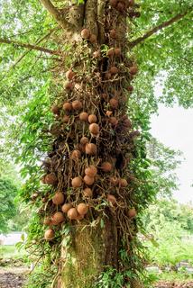 Shala tree (Shorea robusta)