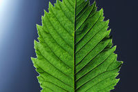 Green leaf with veined pattern isolated on a black background with copy space. Flat lay