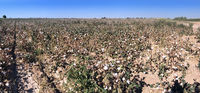 cotton field before harvesting. Uzbekistan