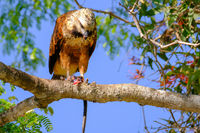 Black-collared Hawk, Busarellus Nigricollis, perched on a tree and eating a snake, Pantanal, Porto Jofre, Brazil