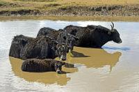 Yak Familie sucht Abkühlung in einem Teich, Mongolei