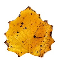 Autumn yellow quaking aspen leaf with holes