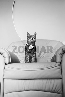 Portrait of a cute grey cat relaxing on baroque armchair. Black and white photo