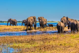 Watering in the Okavango Delta