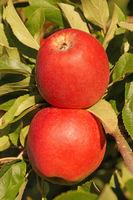 Rote Äpfel 3