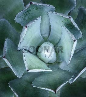 Macro of fresh Agave plant, it shape like flower