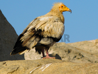 Portrait of Egyptian vulture, Soqotra Yemen