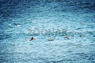 Great Cormorant on the Black sea