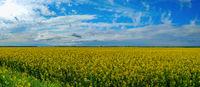 Rapeseed bloom in Ukraine