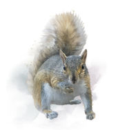 American gray squirrel on white background. watercolor painting.