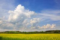 Yellow rapeseed field .
