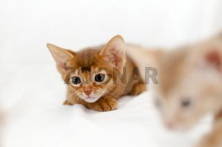 kittens Abyssinian