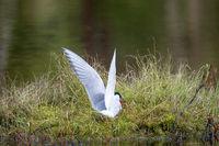 Polar tern made a nest on a small island