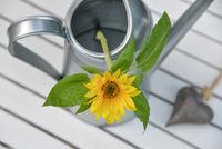 Sonnenblume in einer Gießkanne von oben mit Herz