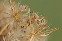 Wilde Moehre (Daucus carota)