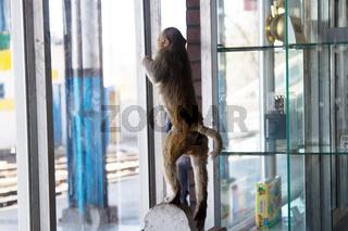 Monkey explores the window space