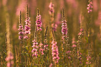 Wild meadow flowers at sunset - colorful background