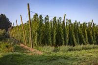 Landscape hop growing