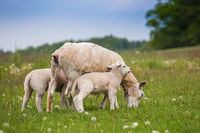 Texel ewe, female sheep, with newborn twin lambs in lush green meadow in Spring Time.