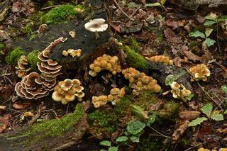 Pilzgruppe auf dem Waldboden und an Baumstumpf