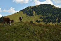 Almkühe  beim Hochgern in den Chiemgauer Alpen, Oberbayern, Deutschland