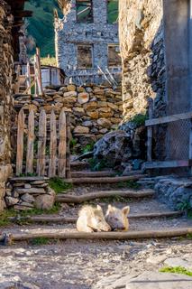 Pigs in the yard, Svaneti