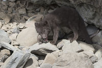 Puppy of the Commanders blue arctic fox that chews the northern fulmar feathers near the entrance to the hole