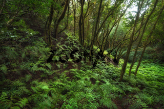 Magic Laurisilva rain forest in Anaga mountains, Tenerife, Canary islands, Spain.