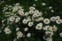 Magerwiesen-Margerite; Leucanthemum vulgare;
