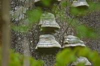 Zunderschwamm an Totholz