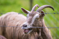 Close up of goat behind a fence