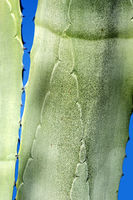 Nahaufnahme von Agavenblättern, Algarve, Portugal