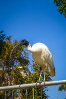 Black and white ibis in Sydney, Australia