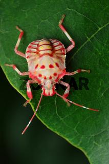 Freshly moulted stink bug, Pentatomidae, Satara, Maharashtra, India