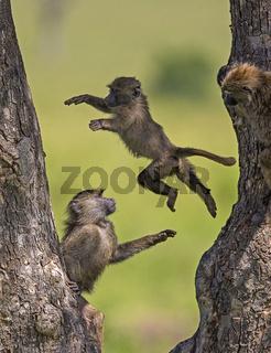 Young baboons playing, Masaimara, Africa